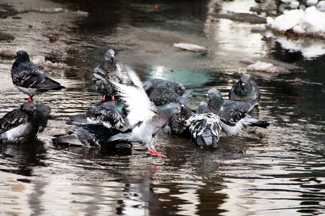 Народная примета, если воробьи и голуби купаются в луже