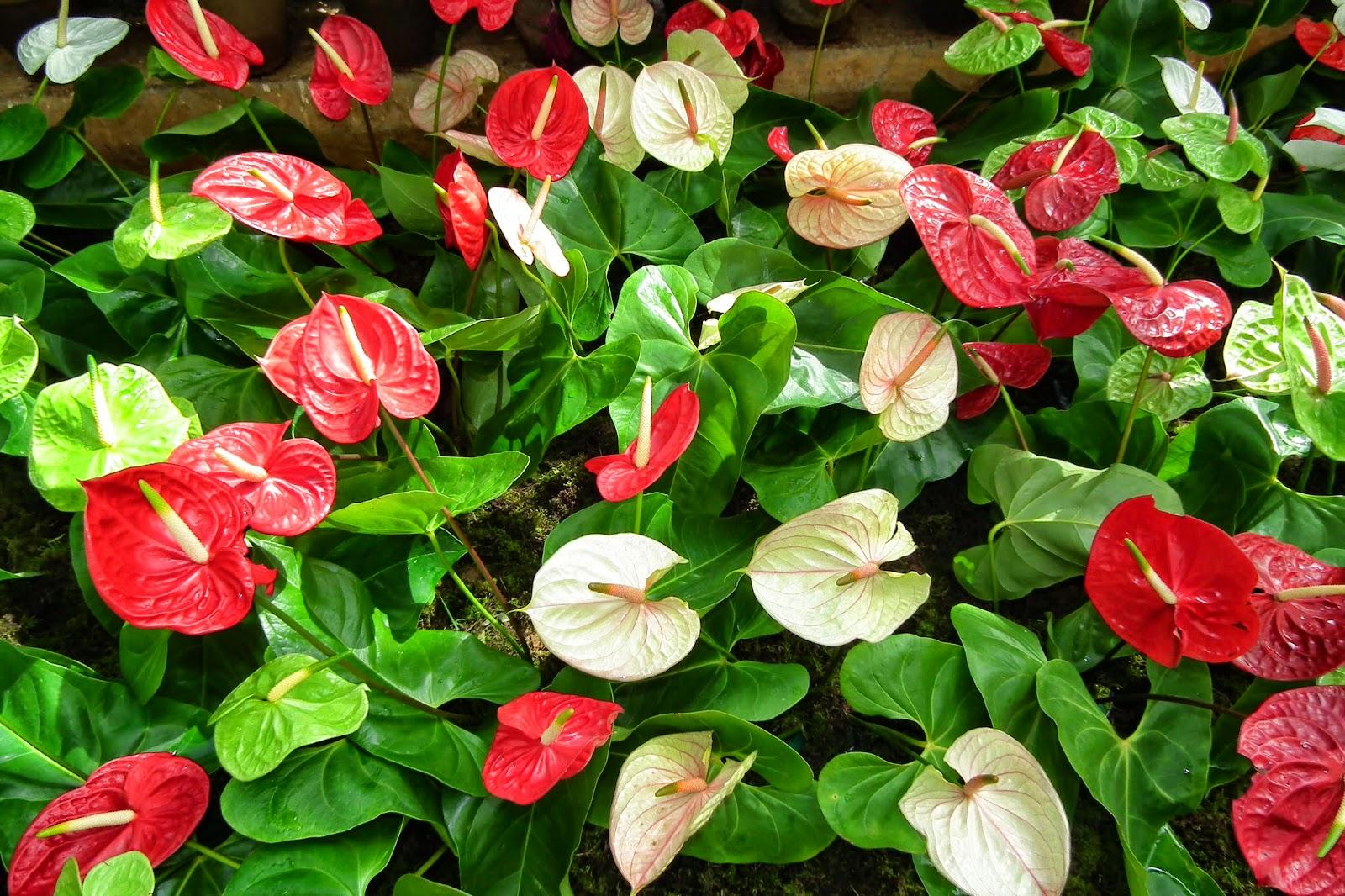 Народные приметы о цветке Мужское счастье