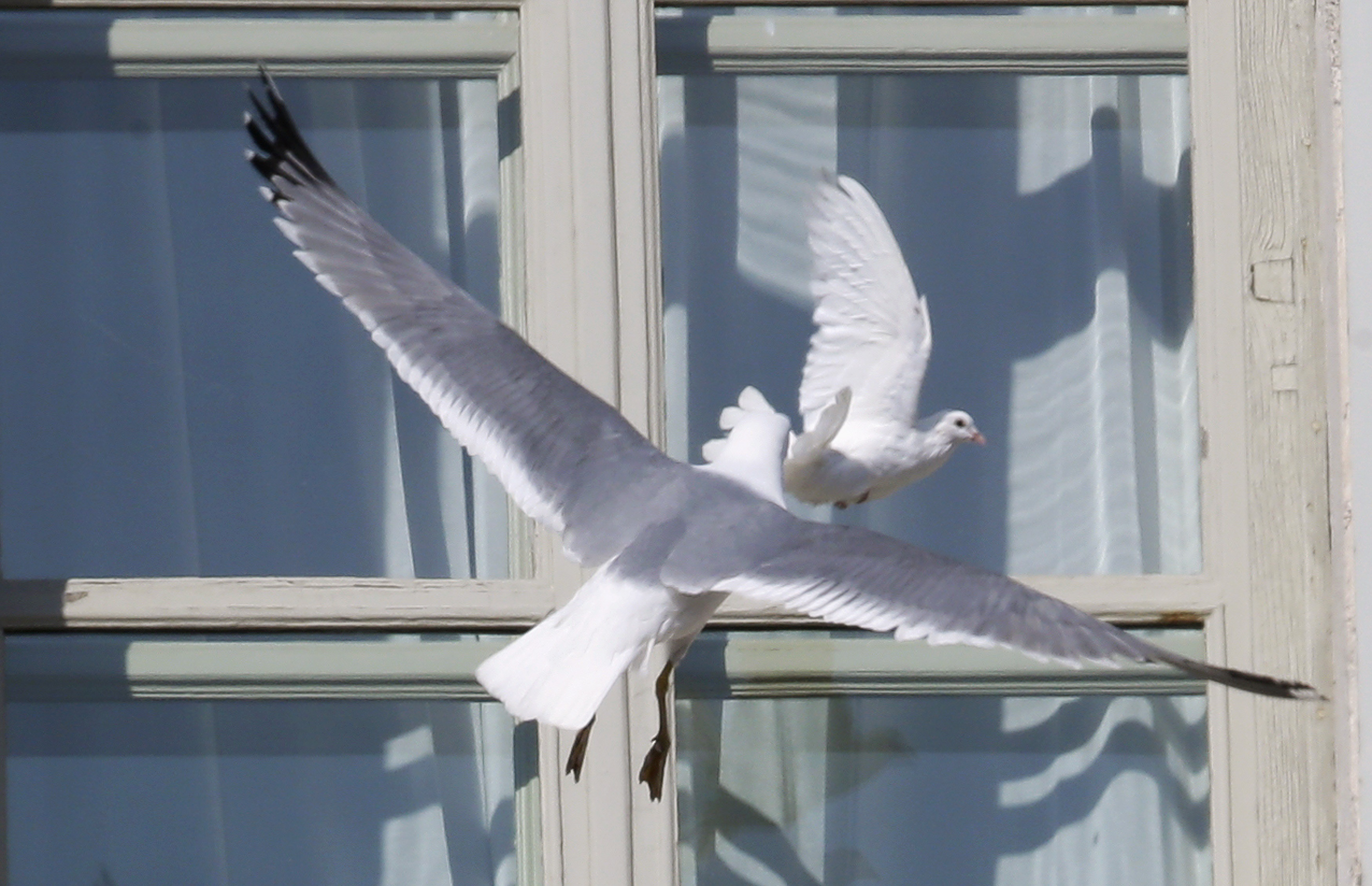 Народные приметы: к чему голубь стучится в окно