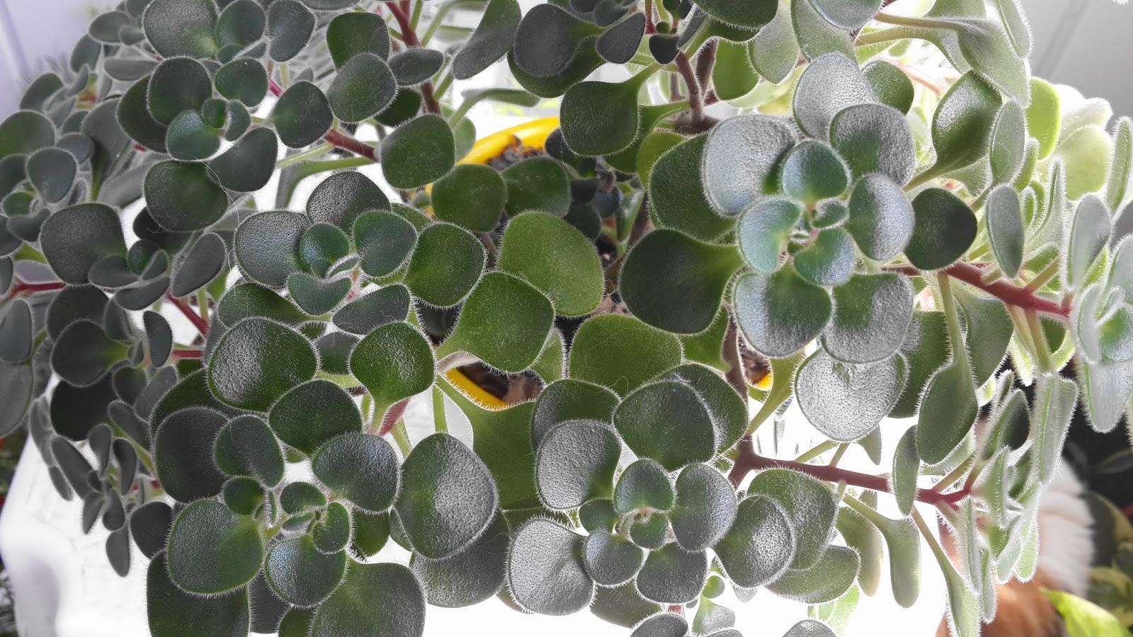 «Дерево любви» – аихризон: приметы