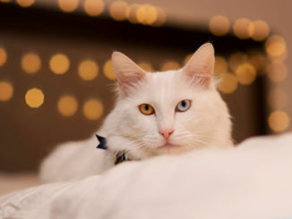 Белая кошка в доме: приметы и поверья