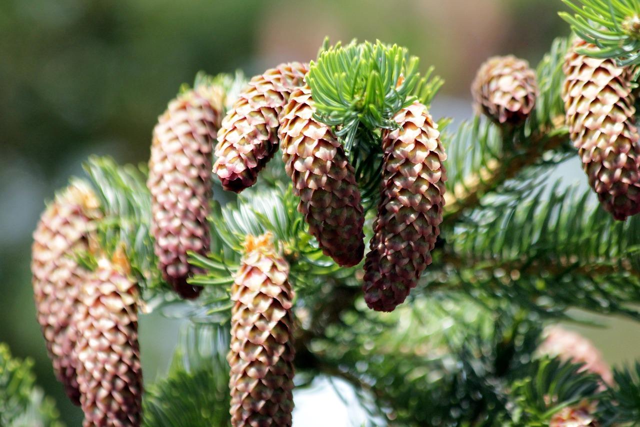 К чему по народным приметам раскрываются шишки хвойных деревьев